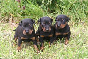 Eaglespur & v.d. Posthoornwieke Manchester Terriers